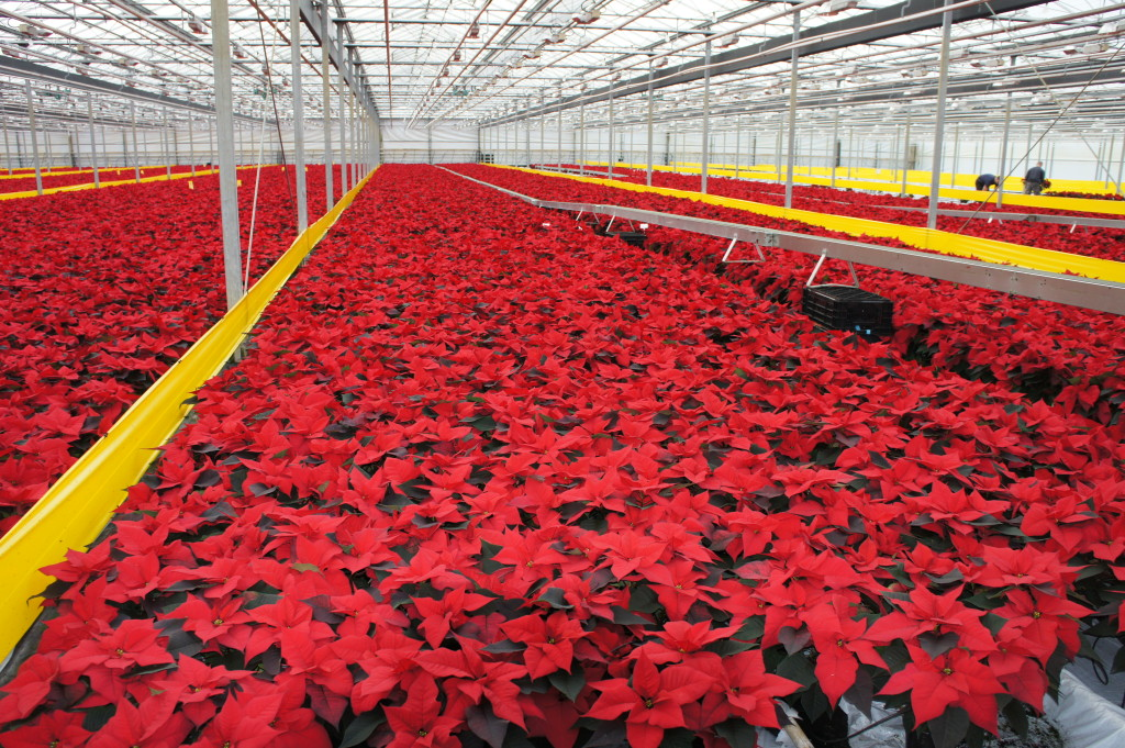 Finished crop of poinsettia