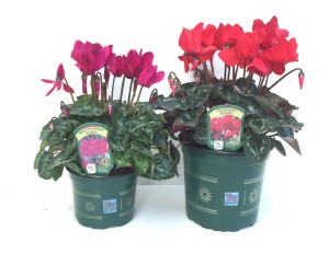 Cyclamen pots home grown