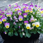 Viola mini window planter