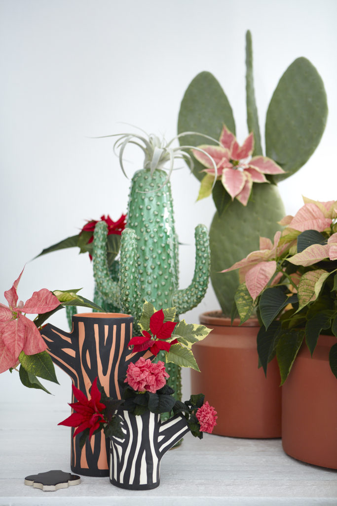Poinsettia originally comes from the highlands of Mexico