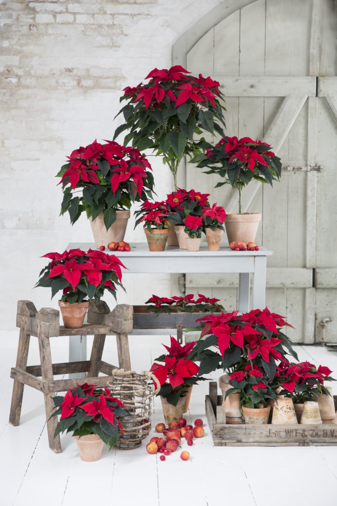 Poinsettia in all kinds of shapes and sizes.