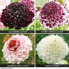 SCOOP Scabious