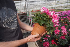 Large cyclamen in clay pots at Saracino.